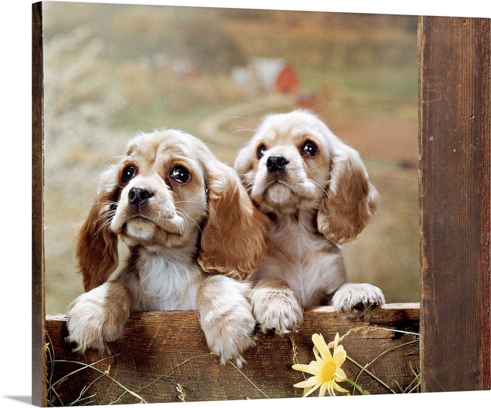 Large Solid-Faced Canvas Print Wall Art Print 30 x 24 entitled 1970s Two Cocker Spaniel Puppies Leaning On Edge Of Wood Fe... Solid-Faced Canvas Print entitled 1970s Two Cocker Spaniel Puppies Leaning On Edge Of Wood Fence, Farm In Distance.  1970s Two Cocker Spaniel Puppies Looking At Camera Leaning On Edge Of Wood Fence Rail Farm In Distance.  Multiple sizes available.  Primary colors within this image include Light Yellow, Black, Light Gray, White.  Made in the USA.  Satisfaction guaranteed.  Archival-quality UV-resistant inks.  Canvas is handcrafted and made-to-order in the United States using high quality artist-grade canvas.  Archival inks prevent fading and preserve as much fine detail as possible with no over-saturation or color shifting.
