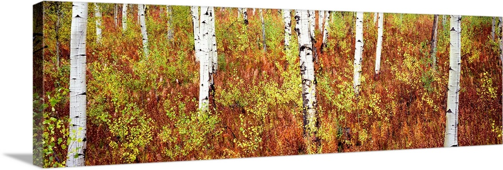 Large Solid-Faced Canvas Print Wall Art Print 48 x 16 entitled Aspen trees in a forest, Shadow Mountain, Grand Teton Natio... Solid-Faced Canvas Print entitled Aspen trees in a forest, Shadow Mountain, Grand Teton National Park, Wyoming.  Panoramic photograph of birch trees in forest surrounded by autumn foliage.  Multiple sizes available.  Primary colors within this image include Brown, Dark Yellow, White.  Made in USA.  Satisfaction guaranteed.  Archival-quality UV-resistant inks.  Featuring a proprietary design, our canvases produce the tightest corners without any bubbles, ripples, or bumps and will not warp or sag over time.  Canvas depth is 1.25 and includes a finished backing with pre-installed hanging hardware.