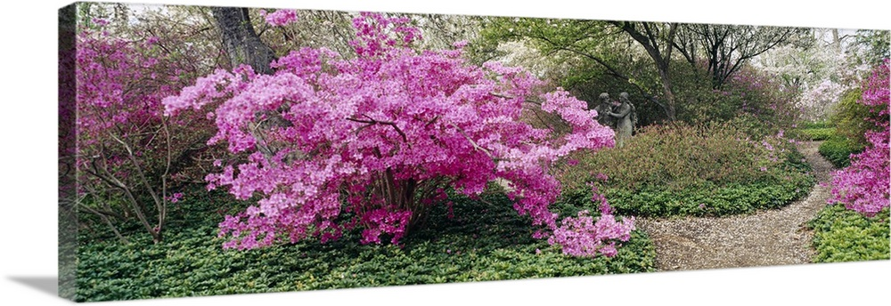 Large Solid-Faced Canvas Print Wall Art Print 48 x 16 entitled Azalea flowers in a garden, Garden of Eden, Ladew Topiary G... Solid-Faced Canvas Print entitled Azalea flowers in a garden, Garden of Eden, Ladew Topiary Gardens, Monkton, Baltimore County, Maryland.  Long photo of brightly colored flowers blooming on small trees in a garden.  Multiple sizes available.  Primary colors within this image include Plum, Light Gray, Dark Forest Green, Pale Blue.  Made in USA.  All products come with a 365 day workmanship guarantee.  Archival-quality UV-resistant inks.  Canvas is handcrafted and made-to-order in the United States using high quality artist-grade canvas.  Canvas depth is 1.25 and includes a finished backing with pre-installed hanging hardware.