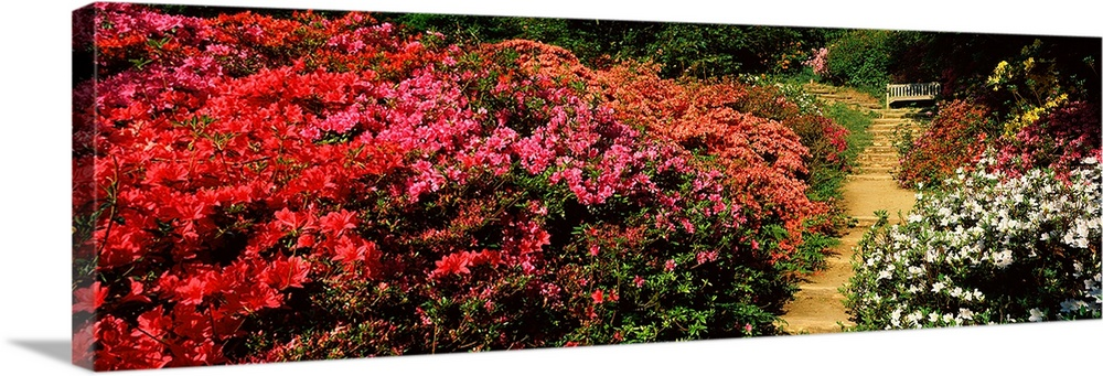 Large Solid-Faced Canvas Print Wall Art Print 48 x 16 entitled Azaleas in a garden, Winkworth Arboretum, Surrey, England Solid-Faced Canvas Print entitled Azaleas in a garden, Winkworth Arboretum, Surrey, England.  Multiple sizes available.  Primary colors within this image include Red, Dark Red, Black, White.  Made in USA.  All products come with a 365 day workmanship guarantee.  Archival-quality UV-resistant inks.  Canvas depth is 1.25 and includes a finished backing with pre-installed hanging hardware.  Featuring a proprietary design, our canvases produce the tightest corners without any bubbles, ripples, or bumps and will not warp or sag over time.