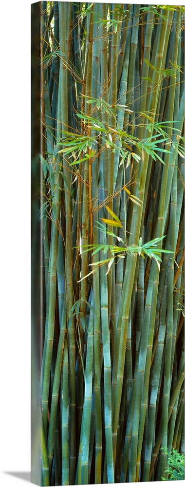 Large Solid-Faced Canvas Print Wall Art Print 16 x 48 entitled Bamboos in a garden Kanapaha Botanical Gardens Gainesville ... Solid-Faced Canvas Print entitled Bamboos in a garden Kanapaha Botanical Gardens Gainesville Florida.  Vertical panoramic photograph of trees and leaves.  Multiple sizes available.  Primary colors within this image include Dark Yellow, Black, Gray, Pale Blue.  Made in the USA.  All products come with a 365 day workmanship guarantee.  Inks used are latex-based and designed to last.  Featuring a proprietary design, our canvases produce the tightest corners without any bubbles, ripples, or bumps and will not warp or sag over time.  Canvas depth is 1.25 and includes a finished backing with pre-installed hanging hardware.