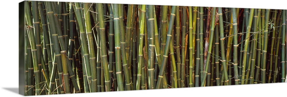 Large Solid-Faced Canvas Print Wall Art Print 48 x 16 entitled Bamboos in a garden Kanapaha Botanical Gardens Gainesville ... Solid-Faced Canvas Print entitled Bamboos in a garden Kanapaha Botanical Gardens Gainesville Florida.  Long image of bamboo printed onto canvas.  Multiple sizes available.  Primary colors within this image include Brown, Dark Yellow, Black, White.  Made in USA.  Satisfaction guaranteed.  Archival-quality UV-resistant inks.  Archival inks prevent fading and preserve as much fine detail as possible with no over-saturation or color shifting.  Canvas depth is 1.25 and includes a finished backing with pre-installed hanging hardware.