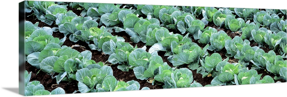 Solid-Faced Canvas Print Wall Art entitled Cabbage Yamhill Co OR