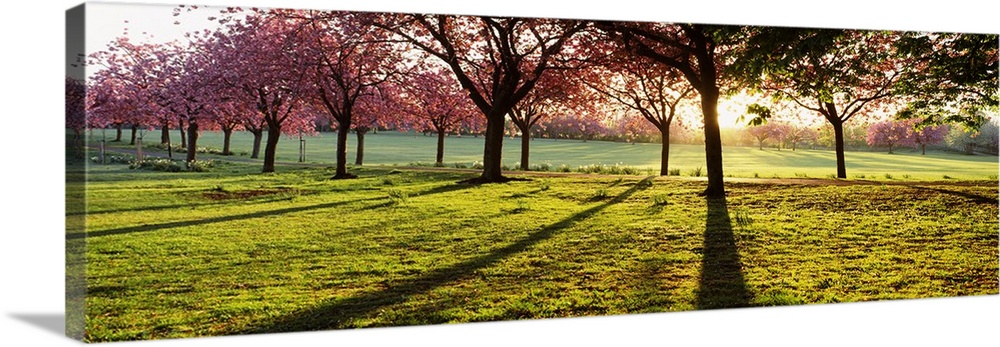 Large Solid-Faced Canvas Print Wall Art Print 48 x 16 entitled Cherry blossom in a park at dawn Stray Harrogate North York... Solid-Faced Canvas Print entitled Cherry blossom in a park at dawn Stray Harrogate North Yorkshire England.  Giant, landscape photograph of a line of cherry trees casting shadows on green grass, while the sun rises behind them, in Harrogate, North Yorkshire, England.  Multiple sizes available.  Primary colors within this image include Dark Red, Dark Yellow, Black, White.  Made in USA.  Satisfaction guaranteed.  Archival-quality UV-resistant inks.  Canvas depth is 1.25 and includes a finished backing with pre-installed hanging hardware.  Canvas is handcrafted and made-to-order in the United States using high quality artist-grade canvas.