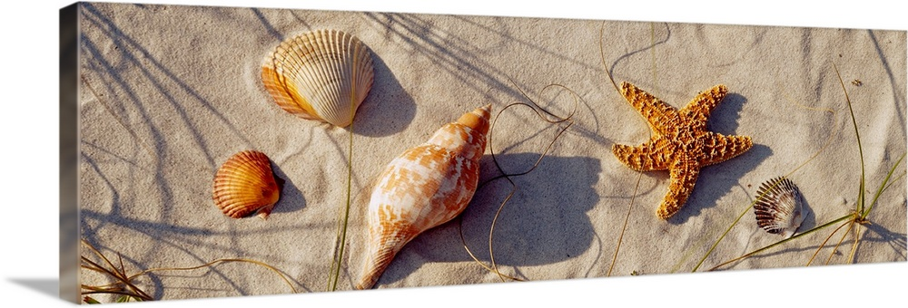 Large Solid-Faced Canvas Print Wall Art Print 48 x 16 entitled Close-up of a starfish and seashells on the beach, Dauphin ... Solid-Faced Canvas Print entitled Close-up of a starfish and seashells on the beach, Dauphin Island, Alabama.  This panoramic wall hanging shows a variety of stranded marine life and shells arranged on the sand in the slender shadows of dune grass.  Multiple sizes available.  Primary colors within this image include Dark Red, Brown, Black, Light Gray.  Made in the USA.  Satisfaction guaranteed.  Inks used are latex-based and designed to last.  Featuring a proprietary design, our canvases produce the tightest corners without any bubbles, ripples, or bumps and will not warp or sag over time.  Canvas is handcrafted and made-to-order in the United States using high quality artist-grade canvas.