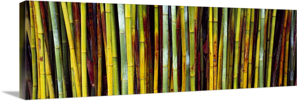 Large Solid-Faced Canvas Print Wall Art Print 48 x 16 entitled Close up of bamboos Kanapaha Botanical Gardens Gainesville ... Solid-Faced Canvas Print entitled Close up of bamboos Kanapaha Botanical Gardens Gainesville Florida.  Panoramic image of multi-colored bamboo stalks.  Multiple sizes available.  Primary colors within this image include Brown, Dark Yellow, Light Yellow, Black.  Made in USA.  All products come with a 365 day workmanship guarantee.  Inks used are latex-based and designed to last.  Archival inks prevent fading and preserve as much fine detail as possible with no over-saturation or color shifting.  Canvas is handcrafted and made-to-order in the United States using high quality artist-grade canvas.
