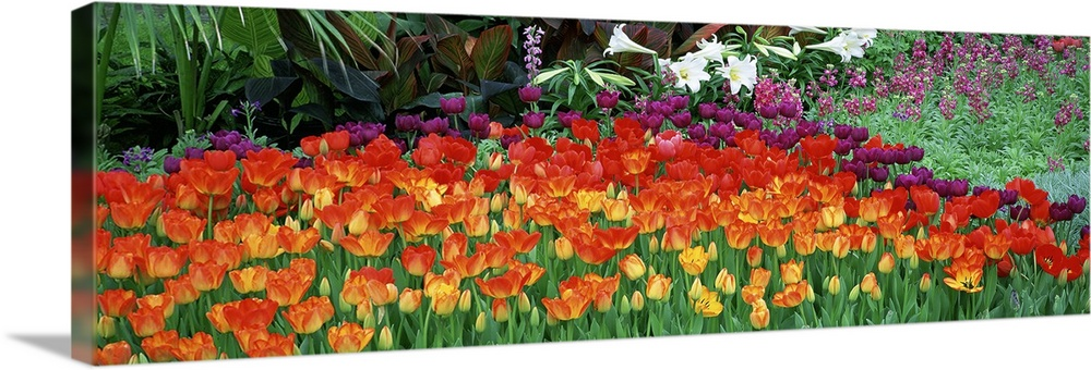 Large Solid-Faced Canvas Print Wall Art Print 48 x 16 entitled Close-up of flowers in a garden, Botanical Garden of Buffal... Solid-Faced Canvas Print entitled Close-up of flowers in a garden, Botanical Garden of Buffalo and Erie County, Buffalo, New York.  Big panoramic artwork consists of colorful tulips showcased in the front and other wild flowers and plants in the background.  Multiple sizes available.  Primary colors within this image include Dark Red, Peach, Black, White.  Made in USA.  All products come with a 365 day workmanship guarantee.  Inks used are latex-based and designed to last.  Canvas depth is 1.25 and includes a finished backing with pre-installed hanging hardware.  Canvas is handcrafted and made-to-order in the United States using high quality artist-grade canvas.