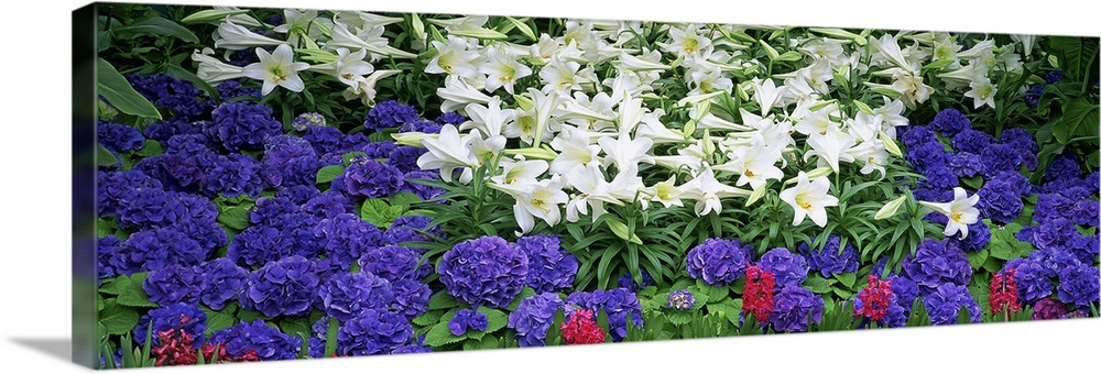 Large Solid-Faced Canvas Print Wall Art Print 48 x 16 entitled Close-up of lilies in a garden, Botanical Gardens of Buffal... Solid-Faced Canvas Print entitled Close-up of lilies in a garden, Botanical Gardens of Buffalo  Erie County, Buffalo, New York.  Multiple sizes available.  Primary colors within this image include Dark Blue, Black, White, Dark Forest Green.  Made in USA.  All products come with a 365 day workmanship guarantee.  Archival-quality UV-resistant inks.  Canvas depth is 1.25 and includes a finished backing with pre-installed hanging hardware.  Canvas is handcrafted and made-to-order in the United States using high quality artist-grade canvas.