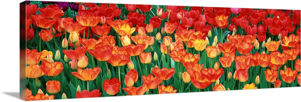 Large Solid-Faced Canvas Print Wall Art Print 48 x 16 entitled Close-up of tulips in a garden, Botanical Garden of Buffalo... Solid-Faced Canvas Print entitled Close-up of tulips in a garden, Botanical Garden of Buffalo and Erie County, Buffalo, New York.  A panoramic photograph of flame colored tulips growing in a flower bed together.  Multiple sizes available.  Primary colors within this image include Dark Red, Light Yellow, Dark Forest Green.  Made in the USA.  Satisfaction guaranteed.  Archival-quality UV-resistant inks.  Canvas is handcrafted and made-to-order in the United States using high quality artist-grade canvas.  Featuring a proprietary design, our canvases produce the tightest corners without any bubbles, ripples, or bumps and will not warp or sag over time.