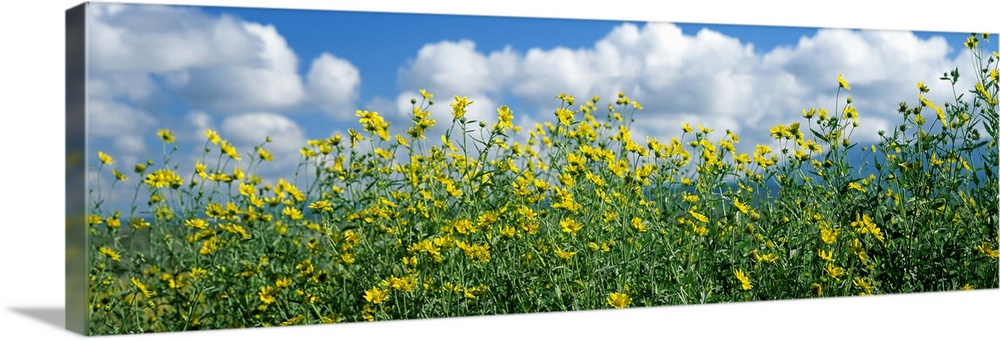 Solid-Faced Canvas Print Wall Art entitled Cowpen daisies in a field