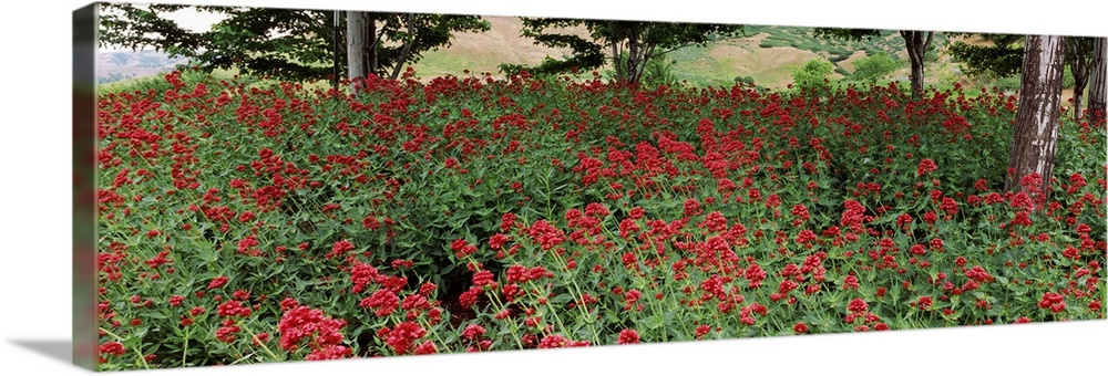 Large Solid-Faced Canvas Print Wall Art Print 48 x 16 entitled Flowers in a botanical garden, Red Butte Garden and Arboret... Solid-Faced Canvas Print entitled Flowers in a botanical garden, Red Butte Garden and Arboretum, Salt Lake City, Utah,.  Multiple sizes available.  Primary colors within this image include Dark Red, Forest Green, White, Dark Forest Green.  Made in USA.  Satisfaction guaranteed.  Inks used are latex-based and designed to last.  Archival inks prevent fading and preserve as much fine detail as possible with no over-saturation or color shifting.  Canvas is handcrafted and made-to-order in the United States using high quality artist-grade canvas.