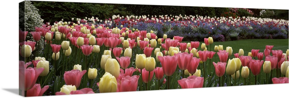 Large Solid-Faced Canvas Print Wall Art Print 48 x 16 entitled Flowers in a garden, Butchart Gardens, Brentwood Bay, Vanco... Solid-Faced Canvas Print entitled Flowers in a garden, Butchart Gardens, Brentwood Bay, Vancouver Island, British Columbia, Canada.  Long horizontal photo on canvas of brightly colored tulips in a garden.  Multiple sizes available.  Primary colors within this image include Brown, Dark Yellow, Pink, Dark Forest Green.  Made in USA.  All products come with a 365 day workmanship guarantee.  Inks used are latex-based and designed to last.  Archival inks prevent fading and preserve as much fine detail as possible with no over-saturation or color shifting.  Canvas is handcrafted and made-to-order in the United States using high quality artist-grade canvas.