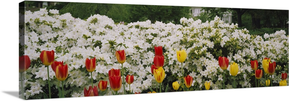 Large Solid-Faced Canvas Print Wall Art Print 48 x 16 entitled Flowers in a garden, Sherwood Gardens, Baltimore, Maryland Solid-Faced Canvas Print entitled Flowers in a garden, Sherwood Gardens, Baltimore, Maryland.  Multiple sizes available.  Primary colors within this image include Dark Red, Dark Yellow, Silver, Dark Forest Green.  Made in USA.  Satisfaction guaranteed.  Inks used are latex-based and designed to last.  Archival inks prevent fading and preserve as much fine detail as possible with no over-saturation or color shifting.  Canvas is handcrafted and made-to-order in the United States using high quality artist-grade canvas.