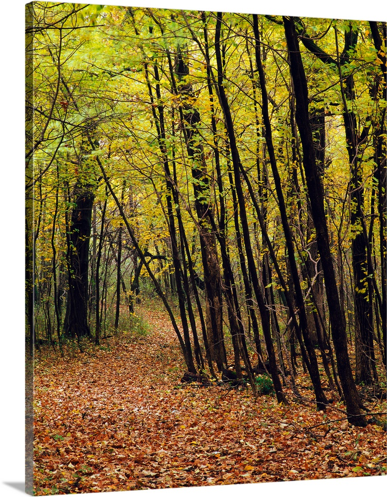 Solid-Faced Canvas Print Wall Art entitled Forest trail through autumn Coloreee