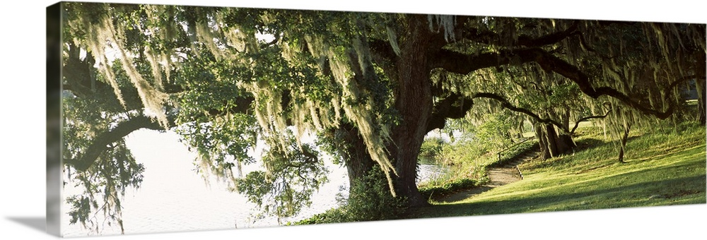 Large Solid-Faced Canvas Print Wall Art Print 48 x 16 entitled Garden at the riverside, Middleton Place, Charleston, Charl... Solid-Faced Canvas Print entitled Garden at the riverside, Middleton Place, Charleston, Charleston County, South Carolina,.  Panoramic photo of a weeping willow tree in a garden along a river.  Multiple sizes available.  Primary colors within this image include Dark Yellow, Black, Gray, White.  Made in the USA.  Satisfaction guaranteed.  Inks used are latex-based and designed to last.  Archival inks prevent fading and preserve as much fine detail as possible with no over-saturation or color shifting.  Canvas depth is 1.25 and includes a finished backing with pre-installed hanging hardware.