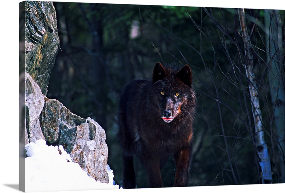 Large Gallery-Wrapped Canvas Wall Art Print 24 x 16 entitled Gray or timber wolf (Canis lupus) on cliff. Gallery-Wrapped Canvas entitled Gray or timber wolf Canis lupus on cliff..  Horizontal photograph on a big wall hanging of a timber wolf looking at the camera while standing on a snow covered rocky cliff the background is a slightly blurred forest.  Multiple sizes available.  Primary colors within this image include Brown Dark Gray Light Gray White.  Made in USA.  Satisfaction guaranteed.  Archival-quality UV-resistant inks.  Canvas is a 65 polyester 35 cotton base with two acrylic latex primer basecoats and a semi-gloss inkjet receptive topcoat.  Canvases have a UVB protection built in to protect against fading and moisture and are designed to last for over 100 years.