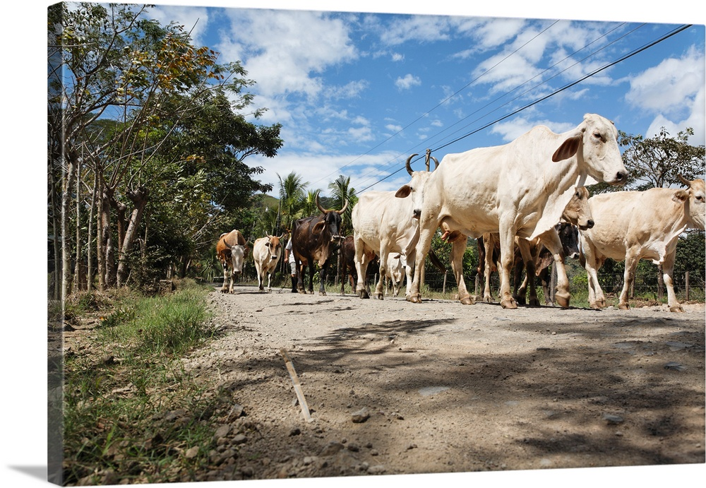 Solid-Faced Canvas Print Wall Art entitled Herd of cattle walking on a dirt