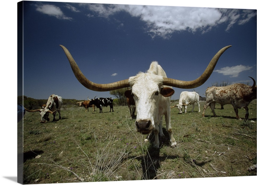 Large Gallery-Wrapped Canvas Wall Art Print 24 x 16 entitled Herd of Texas Longhorn cattle in a field Gallery-Wrapped Canvas entitled Herd of Texas Longhorn cattle in a field.  Oversized landscape photograph of a herd of Texas Longhorn cattle grazing in a field beneath a blue sky.  One cattle in the foreground is looking up directly at the camera.  Multiple sizes available.  Primary colors within this image include Silver Muted Blue Dark Forest Green.  Made in USA.  Satisfaction guaranteed.  Inks used are latex-based and designed to last.  Canvases have a UVB protection built in to protect against fading and moisture and are designed to last for over 100 years.  Canvas is acid-free and 20 millimeters thick.