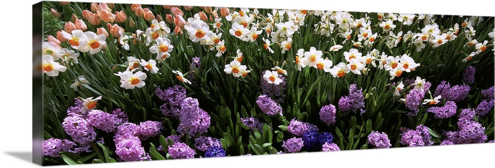 Large Solid-Faced Canvas Print Wall Art Print 48 x 16 entitled High angle view of flowers in spring, Botanical Gardens of ... Solid-Faced Canvas Print entitled High angle view of flowers in spring, Botanical Gardens of Buffalo  Erie County, Buffalo, New York.  Multiple sizes available.  Primary colors within this image include Dark Blue, Peach, Black, White.  Made in the USA.  Satisfaction guaranteed.  Inks used are latex-based and designed to last.  Canvas depth is 1.25 and includes a finished backing with pre-installed hanging hardware.  Canvas is handcrafted and made-to-order in the United States using high quality artist-grade canvas.