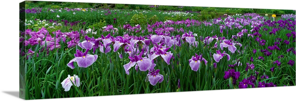 Large Solid-Faced Canvas Print Wall Art Print 48 x 16 entitled Iris Garden Nara Japan Solid-Faced Canvas Print entitled Iris Garden Nara Japan.  Large, closely cropped panoramic photo of a expansive iris garden in Nara, Japan. Long-stemmed flowers occupy the entire shot.  Multiple sizes available.  Primary colors within this image include Forest Green, Dark Purple, Dark Forest Green, Pale Blue.  Made in the USA.  All products come with a 365 day workmanship guarantee.  Inks used are latex-based and designed to last.  Canvas depth is 1.25 and includes a finished backing with pre-installed hanging hardware.  Featuring a proprietary design, our canvases produce the tightest corners without any bubbles, ripples, or bumps and will not warp or sag over time.