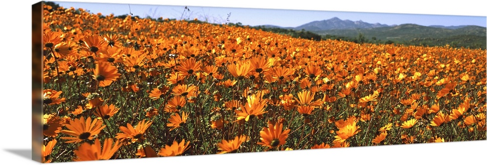 Large Gallery-Wrapped Canvas Wall Art Print 36 x 13 entitled Namaqua Parachute-Daisies flowers in a field, South Africa Gallery-Wrapped Canvas entitled Namaqua Parachute-Daisies flowers in a field South Africa.  Multiple sizes available.  Primary colors within this image include Orange Brown Sky Blue Gray.  Made in USA.  All products come with a 365 day workmanship guarantee.  Inks used are latex-based and designed to last.  Museum-quality artist-grade canvas mounted on sturdy wooden stretcher bars 1.5 thick.  Comes ready to hang.  Canvases are stretched across a 1.5 inch thick wooden frame with easy-to-mount hanging hardware.