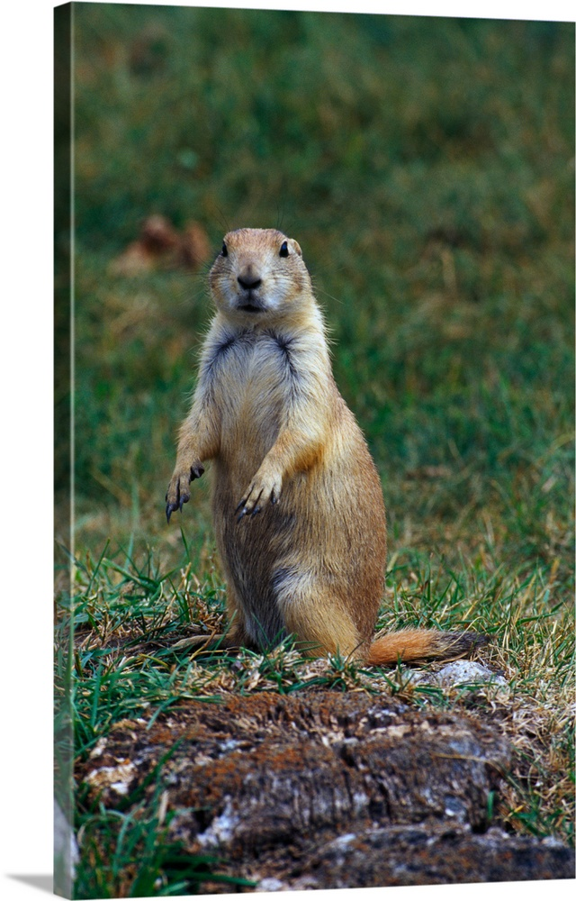 Large Solid-Faced Canvas Print Wall Art Print 20 x 30 entitled Prairie dog sitting up in grass, looking at camera, North D... Solid-Faced Canvas Print entitled Prairie dog sitting up in grass, looking at camera, North Dakota.  Multiple sizes available.  Primary colors within this image include Brown, Forest Green, Black, Gray.  Made in the USA.  All products come with a 365 day workmanship guarantee.  Inks used are latex-based and designed to last.  Canvas is handcrafted and made-to-order in the United States using high quality artist-grade canvas.  Featuring a proprietary design, our canvases produce the tightest corners without any bubbles, ripples, or bumps and will not warp or sag over time.