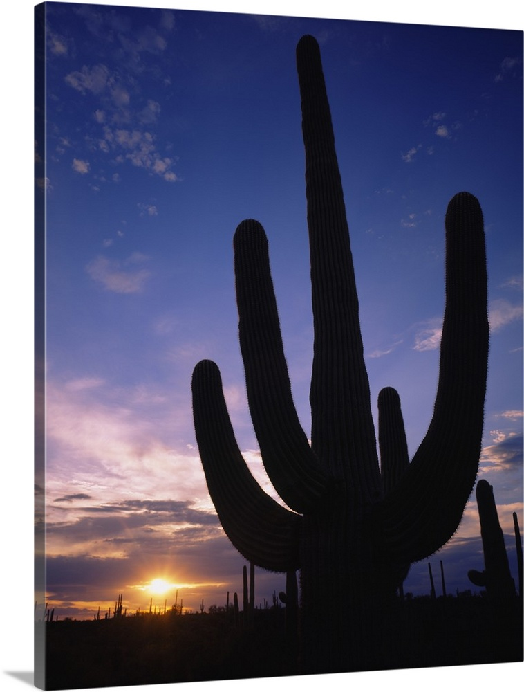 Solid-Faced Canvas drucken wand kunst entitled Silhouette of a cactus, Four Peaks
