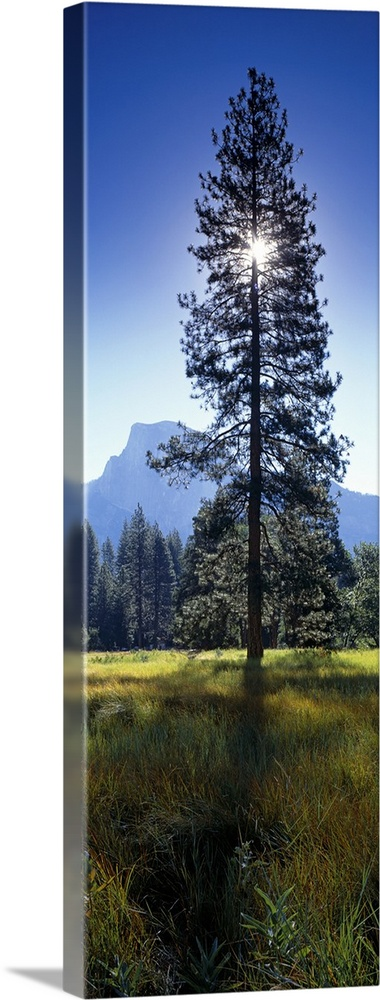 Large Solid-Faced Canvas Print Wall Art Print 16 x 48 entitled Sun behind pine tree, Half Dome, Yosemite Valley, California Solid-Faced Canvas Print entitled Sun behind pine tree, Half Dome, Yosemite Valley, California.  Large vertical photograph of a tall pine tree in a field in Yosemite Valley, the sun directly behind the tree, casting a shadow in the foreground.  Multiple sizes available.  Primary colors within this image include Sky Blue, Black, White, Muted Blue.  Made in the USA.  Satisfaction guaranteed.  Archival-quality UV-resistant inks.  Canvas is handcrafted and made-to-order in the United States using high quality artist-grade canvas.  Canvas depth is 1.25 and includes a finished backing with pre-installed hanging hardware.