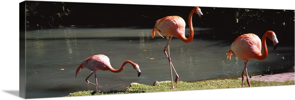 Large Solid-Faced Canvas Print Wall Art Print 48 x 16 entitled Three flamingos foraging by a pond, Jungle Gardens, Sarasot... Solid-Faced Canvas Print entitled Three flamingos foraging by a pond, Jungle Gardens, Sarasota, Florida.  Multiple sizes available.  Primary colors within this image include Dark Red, Black, Gray, White.  Made in the USA.  All products come with a 365 day workmanship guarantee.  Inks used are latex-based and designed to last.  Featuring a proprietary design, our canvases produce the tightest corners without any bubbles, ripples, or bumps and will not warp or sag over time.  Archival inks prevent fading and preserve as much fine detail as possible with no over-saturation or color shifting.