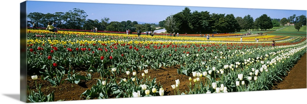 Large Solid-Faced Canvas Print Wall Art Print 48 x 16 entitled Tulip flowers in a botanical garden,in Dandenong Ranges, Vi... Solid-Faced Canvas Print entitled Tulip flowers in a botanical garden,in Dandenong Ranges, Victoria, Australia.  Multiple sizes available.  Primary colors within this image include Dark Red, Light Yellow, Sky Blue, Dark Forest Green.  Made in USA.  Satisfaction guaranteed.  Archival-quality UV-resistant inks.  Canvas is handcrafted and made-to-order in the United States using high quality artist-grade canvas.  Canvas depth is 1.25 and includes a finished backing with pre-installed hanging hardware.