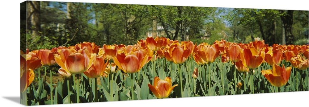 Large Solid-Faced Canvas Print Wall Art Print 48 x 16 entitled Tulip flowers in a garden, Sherwood Gardens, Baltimore, Mar... Solid-Faced Canvas Print entitled Tulip flowers in a garden, Sherwood Gardens, Baltimore, Maryland.  A photograph is taken level with a field of warm colored tulips that have already bloomed.  Multiple sizes available.  Primary colors within this image include Orange, Dark Red, Peach, Dark Forest Green.  Made in the USA.  All products come with a 365 day workmanship guarantee.  Archival-quality UV-resistant inks.  Canvas depth is 1.25 and includes a finished backing with pre-installed hanging hardware.  Archival inks prevent fading and preserve as much fine detail as possible with no over-saturation or color shifting.