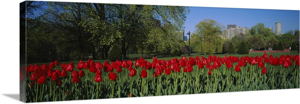 Large Solid-Faced Canvas Print Wall Art Print 48 x 16 entitled Tulips in a garden, Boston Public Garden, Boston, Massachus... Solid-Faced Canvas Print entitled Tulips in a garden, Boston Public Garden, Boston, Massachusetts.  Giant, horizontal photograph of a crowded row of vibrant tulips in the Boston Public Garden, a green landscape in the background as well as several skyscrapers in Boston, Massachusetts.  Multiple sizes available.  Primary colors within this image include Dark Red, Sky Blue, Gray, Dark Forest Green.  Made in the USA.  All products come with a 365 day workmanship guarantee.  Archival-quality UV-resistant inks.  Canvas depth is 1.25 and includes a finished backing with pre-installed hanging hardware.  Archival inks prevent fading and preserve as much fine detail as possible with no over-saturation or color shifting.