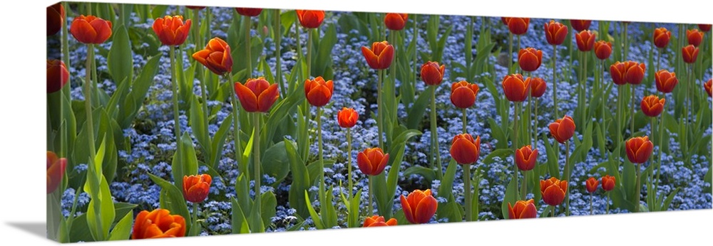 Large Solid-Faced Canvas Print Wall Art Print 48 x 16 entitled Tulips in a garden, Butchart Gardens, Victoria, Vancouver I... Solid-Faced Canvas Print entitled Tulips in a garden, Butchart Gardens, Victoria, Vancouver Island, British Columbia, Canada.  Panoramic picture taken of a field of flowers. Small blue flowers grow underneath the tall tulips.  Multiple sizes available.  Primary colors within this image include Dark Red, Brown, Pale Blue, Lime Green.  Made in the USA.  All products come with a 365 day workmanship guarantee.  Archival-quality UV-resistant inks.  Archival inks prevent fading and preserve as much fine detail as possible with no over-saturation or color shifting.  Canvas depth is 1.25 and includes a finished backing with pre-installed hanging hardware.