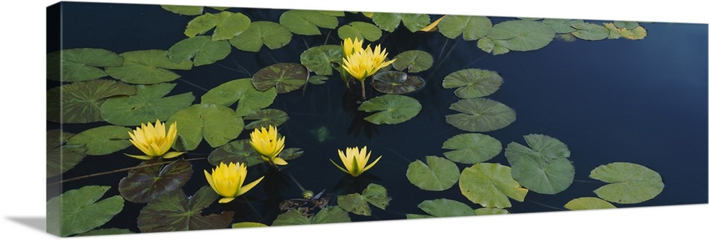 Large Solid-Faced Canvas Print Wall Art Print 48 x 16 entitled Water lilies in a pond, Denver Botanic Gardens, Denver, Col... Solid-Faced Canvas Print entitled Water lilies in a pond, Denver Botanic Gardens, Denver, Colorado.  Multiple sizes available.  Primary colors within this image include Dark Yellow, Dark Forest Green, Dark Navy Blue.  Made in the USA.  All products come with a 365 day workmanship guarantee.  Inks used are latex-based and designed to last.  Featuring a proprietary design, our canvases produce the tightest corners without any bubbles, ripples, or bumps and will not warp or sag over time.  Archival inks prevent fading and preserve as much fine detail as possible with no over-saturation or color shifting.