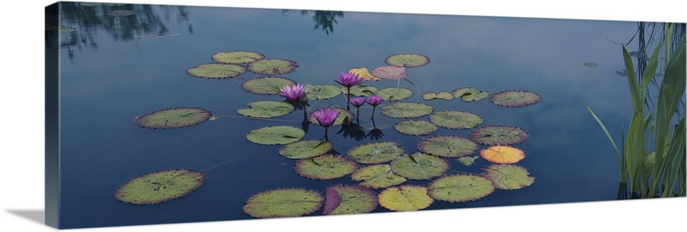 Large Solid-Faced Canvas Print Wall Art Print 48 x 16 entitled Water lilies in a pond, Denver Botanic Gardens, Denver, Col... Solid-Faced Canvas Print entitled Water lilies in a pond, Denver Botanic Gardens, Denver, Colorado.  Oversized, landscape photograph of a group of water lilies and lily pads in the still blue water of a pond in the Denver Botanic Gardens in Colorado.  Multiple sizes available.  Primary colors within this image include Dark Purple, Black, Light Gray, Gray Blue.  Made in the USA.  Satisfaction guaranteed.  Archival-quality UV-resistant inks.  Canvas depth is 1.25 and includes a finished backing with pre-installed hanging hardware.  Canvas is handcrafted and made-to-order in the United States using high quality artist-grade canvas.