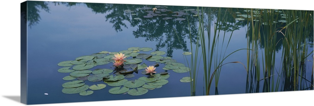 Large Solid-Faced Canvas Print Wall Art Print 48 x 16 entitled Water lilies in a pond, Denver Botanic Gardens, Denver, Col... Solid-Faced Canvas Print entitled Water lilies in a pond, Denver Botanic Gardens, Denver, Colorado.  Multiple sizes available.  Primary colors within this image include Peach, Gray Blue, Dark Navy Blue.  Made in the USA.  Satisfaction guaranteed.  Archival-quality UV-resistant inks.  Archival inks prevent fading and preserve as much fine detail as possible with no over-saturation or color shifting.  Canvas is handcrafted and made-to-order in the United States using high quality artist-grade canvas.