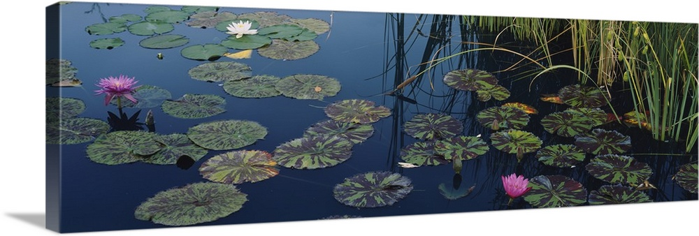 Large Solid-Faced Canvas Print Wall Art Print 48 x 16 entitled Water lilies in a pond, Denver Botanic Gardens, Denver, Col... Solid-Faced Canvas Print entitled Water lilies in a pond, Denver Botanic Gardens, Denver, Colorado.  This panoramic piece is a photograph of lily pads and lotus flowers floating on the surface of water.  Multiple sizes available.  Primary colors within this image include Black, Light Gray, Dark Forest Green, Gray Blue.  Made in the USA.  Satisfaction guaranteed.  Archival-quality UV-resistant inks.  Canvas is handcrafted and made-to-order in the United States using high quality artist-grade canvas.  Archival inks prevent fading and preserve as much fine detail as possible with no over-saturation or color shifting.