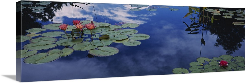 Large Solid-Faced Canvas Print Wall Art Print 48 x 16 entitled Water lilies in a pond, Denver Botanic Gardens, Denver, Den... Solid-Faced Canvas Print entitled Water lilies in a pond, Denver Botanic Gardens, Denver, Denver County, Colorado.  This was art is a panoramic shapes photograph that is a close up of lily pads floating on water reflecting the clouds in the sky.  Multiple sizes available.  Primary colors within this image include Plum, Black, Silver, Muted Blue.  Made in USA.  All products come with a 365 day workmanship guarantee.  Inks used are latex-based and designed to last.  Featuring a proprietary design, our canvases produce the tightest corners without any bubbles, ripples, or bumps and will not warp or sag over time.  Archival inks prevent fading and preserve as much fine detail as possible with no over-saturation or color shifting.