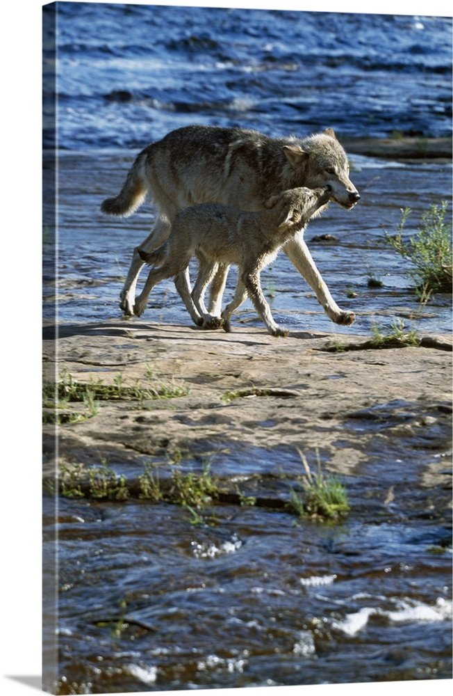 Large Gallery-Wrapped Canvas Wall Art Print 16 x 24 entitled Wolf mother crossing stream with cub, Minnesota Gallery-Wrapped Canvas entitled Wolf mother crossing stream with cub Minnesota.  Multiple sizes available.  Primary colors within this image include Black Light Gray Muted Blue.  Made in the USA.  Satisfaction guaranteed.  Archival-quality UV-resistant inks.  Museum-quality artist-grade canvas mounted on sturdy wooden stretcher bars 1.5 thick.  Comes ready to hang.  Canvas is designed to prevent fading.