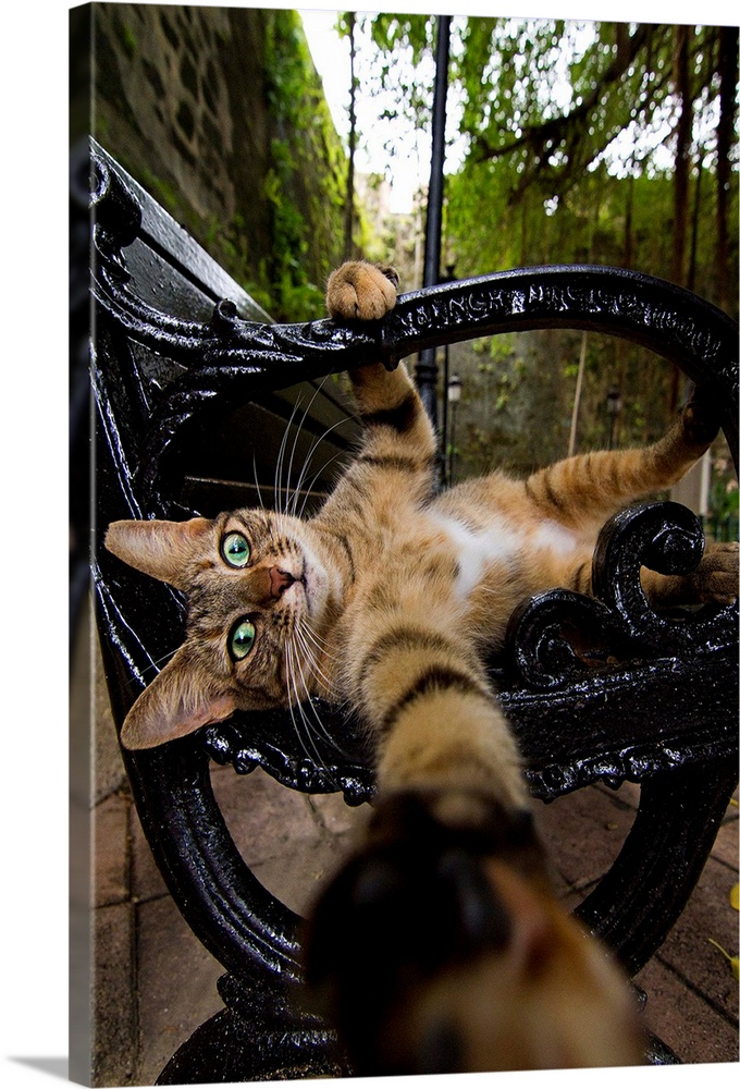 Large Solid-Faced Canvas Print Wall Art Print 20 x 30 entitled Felis catus Solid-Faced Canvas Print entitled Felis catus.  A cute cat on a park bench grabbing for the camera.  Multiple sizes available.  Primary colors within this image include Forest Green, Black, Gray, White.  Made in USA.  All products come with a 365 day workmanship guarantee.  Archival-quality UV-resistant inks.  Canvas depth is 1.25 and includes a finished backing with pre-installed hanging hardware.  Canvas is handcrafted and made-to-order in the United States using high quality artist-grade canvas.