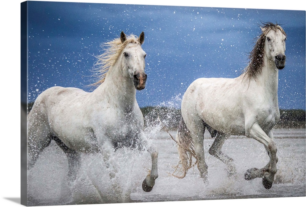 Large Solid-Faced Canvas Print Wall Art Print 36 x 24 entitled Freedom in Camargue Solid-Faced Canvas Print entitled Freedom in Camargue.  Camargue horses running through the water during a storm.  Multiple sizes available.  Primary colors within this image include Black, Muted Blue, Pale Blue.  Made in the USA.  All products come with a 365 day workmanship guarantee.  Inks used are latex-based and designed to last.  Archival inks prevent fading and preserve as much fine detail as possible with no over-saturation or color shifting.  Featuring a proprietary design, our canvases produce the tightest corners without any bubbles, ripples, or bumps and will not warp or sag over time.