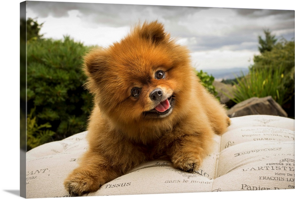 Large Gallery-Wrapped Canvas Wall Art Print 30 x 20 entitled Stormy Days Gallery-Wrapped Canvas entitled Stormy Days.  A Pomeranian dog outside on a pillow with a cloudy sky.  Multiple sizes available.  Primary colors within this image include Dark Yellow, Peach, Black, Silver.  Made in the USA.  All products come with a 365 day workmanship guarantee.  Archival-quality UV-resistant inks.  Canvases have a UVB protection built in to protect against fading and moisture and are designed to last for over 100 years.  Canvas is a 65 polyester, 35 cotton base, with two acrylic latex primer basecoats and a semi-gloss inkjet receptive topcoat.