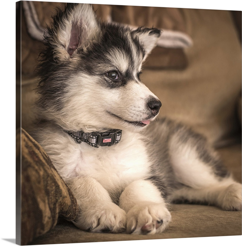Large Solid-Faced Canvas Print Wall Art Print 20 x 20 entitled Talkeetna the Puppy Solid-Faced Canvas Print entitled Talkeetna the Puppy.  An Alaskan Malamute puppy resting on a sofa.  Multiple sizes available.  Primary colors within this image include Black, Gray, Silver.  Made in the USA.  Satisfaction guaranteed.  Archival-quality UV-resistant inks.  Featuring a proprietary design, our canvases produce the tightest corners without any bubbles, ripples, or bumps and will not warp or sag over time.  Canvas is handcrafted and made-to-order in the United States using high quality artist-grade canvas.