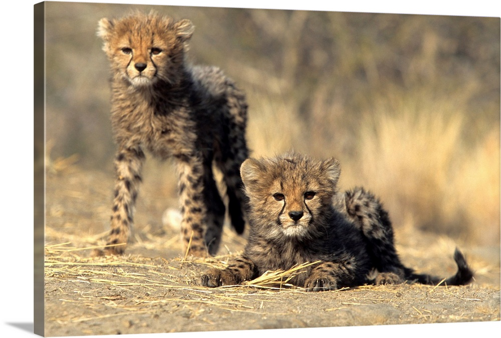 Large Gallery-Wrapped Canvas Wall Art Print 24 x 16 entitled Cheetah cubs, Duesternbrook Private Game Reserve, Windhoek, N... Gallery-Wrapped Canvas entitled Cheetah cubs, Duesternbrook Private Game Reserve, Windhoek, Namibia, Africa.  Multiple sizes available.  Primary colors within this image include Peach, Black, Gray.  Made in USA.  All products come with a 365 day workmanship guarantee.  Inks used are latex-based and designed to last.  Canvas is designed to prevent fading.  Museum-quality, artist-grade canvas mounted on sturdy wooden stretcher bars 1.5 thick.  Comes ready to hang.