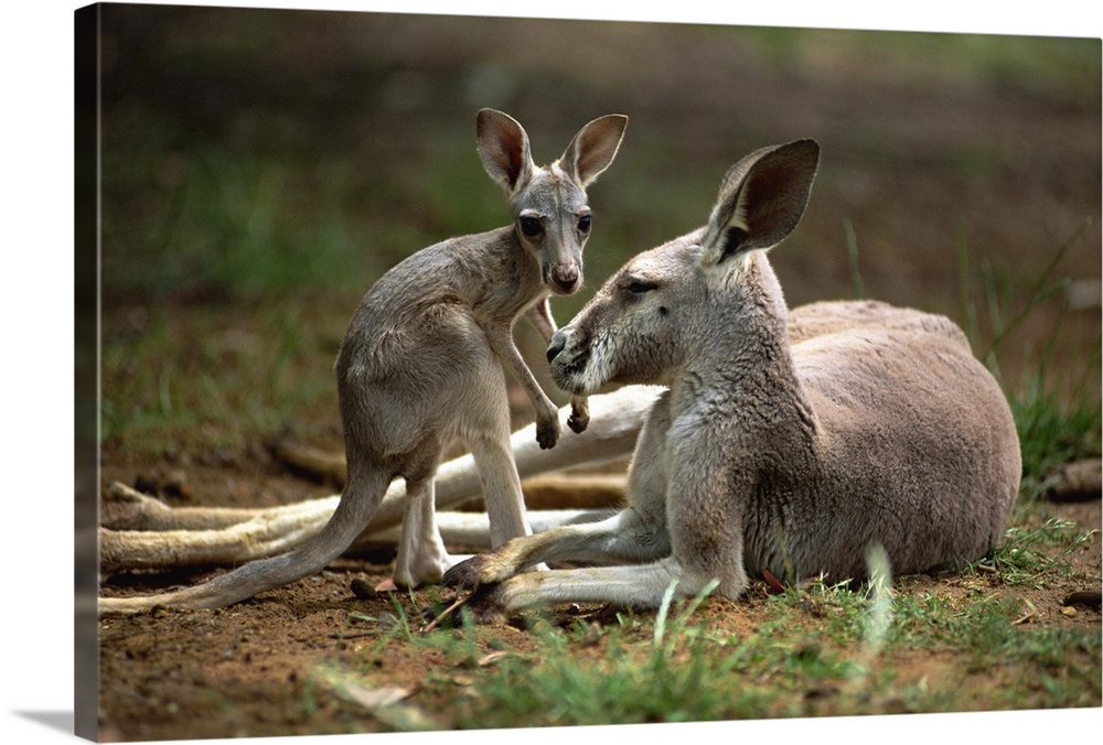 Large Gallery-Wrapped Canvas Wall Art Print 24 x 16 entitled Close-up of mother and young, western gray kangaroos, Australia Gallery-Wrapped Canvas entitled Close-up of mother and young western gray kangaroos Australia.  Multiple sizes available.  Primary colors within this image include Silver Dark Forest Green.  Made in the USA.  All products come with a 365 day workmanship guarantee.  Inks used are latex-based and designed to last.  Canvas frames are built with farmed or reclaimed domestic pine or poplar wood.  Canvas is acid-free and 20 millimeters thick.