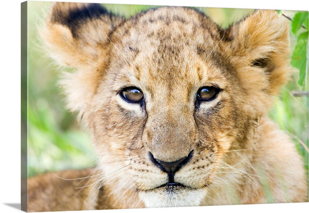 Large Gallery-Wrapped Canvas Wall Art Print 24 x 16 entitled Head on shot of lion cub looking at camera, Masai Mara Game R... Gallery-Wrapped Canvas entitled Head on shot of lion cub looking at camera, Masai Mara Game Reserve, Kenya.  Multiple sizes available.  Primary colors within this image include Light Green, Silver, Dark Forest Green.  Made in USA.  All products come with a 365 day workmanship guarantee.  Archival-quality UV-resistant inks.  Canvas is designed to prevent fading.  Canvas is a 65 polyester, 35 cotton base, with two acrylic latex primer basecoats and a semi-gloss inkjet receptive topcoat.