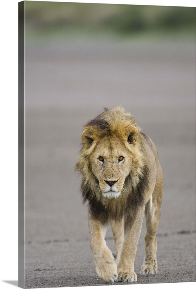 Large Solid-Faced Canvas Print Wall Art Print 20 x 30 entitled Lion walking towards camera, Serengeti National Park, Tanza... Solid-Faced Canvas Print entitled Lion walking towards camera, Serengeti National Park, Tanzania, Africa.  Multiple sizes available.  Primary colors within this image include Dark Gray, Light Gray.  Made in the USA.  All products come with a 365 day workmanship guarantee.  Archival-quality UV-resistant inks.  Canvas depth is 1.25 and includes a finished backing with pre-installed hanging hardware.  Canvas is handcrafted and made-to-order in the United States using high quality artist-grade canvas.