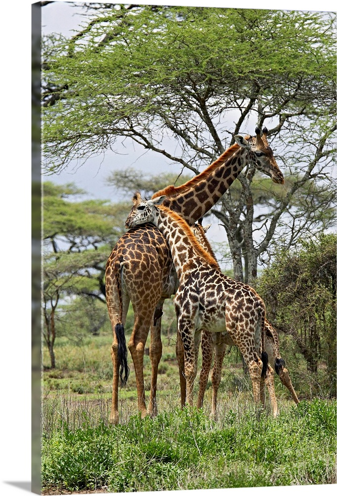Large Gallery-Wrapped Canvas Wall Art Print 16 x 24 entitled Masai Giraffe mother and young, Serengeti National Park, Tanz... Gallery-Wrapped Canvas entitled Masai Giraffe mother and young Serengeti National Park Tanzania Africa.  Multiple sizes available.  Primary colors within this image include Peach Dark Gray Silver Dark Forest Green.  Made in USA.  All products come with a 365 day workmanship guarantee.  Inks used are latex-based and designed to last.  Canvas frames are built with farmed or reclaimed domestic pine or poplar wood.  Museum-quality artist-grade canvas mounted on sturdy wooden stretcher bars 1.5 thick.  Comes ready to hang.