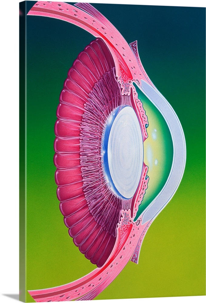 Large Solid-Faced Canvas Print Wall Art Print 20 x 30 entitled Artwork of eye Solid-Faced Canvas Print entitled Artwork of eye.  Illustration of the anterior chamber of the eye. Anterior structures in the eyeball focus an image onto the retina nerve cells at the back of the eye. The cornea centre right, white protrudes as the front circular part which serves as the main lens. It performs most of the focusing, and is covered by a thin protective conjunctiva mem- brane. Behind the cornea is a chamber of aqueous humour fluid and behind that, a central hole or pupil surrounded by a coloured iris here purple. Tiny muscles alter the pupil size to control the amount of light entering the eye. In contact with, and behind the iris, is a crystalline lens at centre, white providing more focusing power.  Multiple sizes available.  Primary colors within this image include Forest Green, Light Purple, Lime Green, Dark Navy Blue.  Made in USA.  All products come with a 365 day workmanship guarantee.  Archival-quality UV-resistant inks.  Canvas depth is 1.25 and includes a finished backing with pre-installed hanging hardware.  Archival inks prevent fading and preserve as much fine detail as possible with no over-saturation or color shifting.