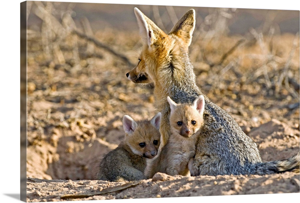 Large Gallery-Wrapped Canvas Wall Art Print 24 x 16 entitled Cape fox mother and young Gallery-Wrapped Canvas entitled Cape fox mother and young.  Cape fox Vulpes chama mother and young. Female cape foxes give birth to a litter of between 3 and 6 pups after a gestation period of around 50 days. The pups are weaned at 6-8 weeks and are able to hunt on their own at 4 months. They leave their mothers at 5 months. The cape fox is a small fox measuring up to 60 centimetres that inhabits the grasslands and savannahs of southern Africa. It is mostly nocturnal and lives alone or in pairs in dens. It feeds on small rodents rabbits reptiles insects and a little plant matter. Photographed in the Kgalagadi Transfrontier Park South Africa.  Multiple sizes available.  Primary colors within this image include Dark Gray Light Gray.  Made in USA.  Satisfaction guaranteed.  Inks used are latex-based and designed to last.  Canvases are stretched across a 1.5 inch thick wooden frame with easy-to-mount hanging hardware.  Canvas frames are built with farmed or reclaimed domestic pine or poplar wood.